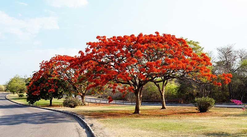 El flamboyán, un árbol que despierta los sentidos